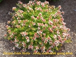 Canyon Creek Abelia