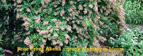 rose creek The rose creek abelia flowers pink and white blooms that appear in the spring and continue through summer attract butterflies and hummingbirds to your yard with this full sun or partial.