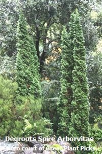 Thuja Occidentalis Care Instructions