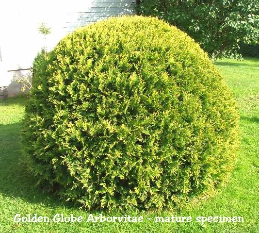 golden globe arborvitae thuja. Black Bedroom Furniture Sets. Home Design Ideas