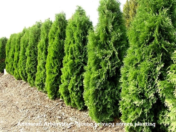 amercian pyramidal arborvitae thuja. Black Bedroom Furniture Sets. Home Design Ideas