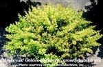 Daybreak Golden Barberry / Berberis