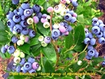 Duke Blueberry / Vaccinium