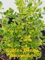 Golden Dream Boxwood  / Buxus