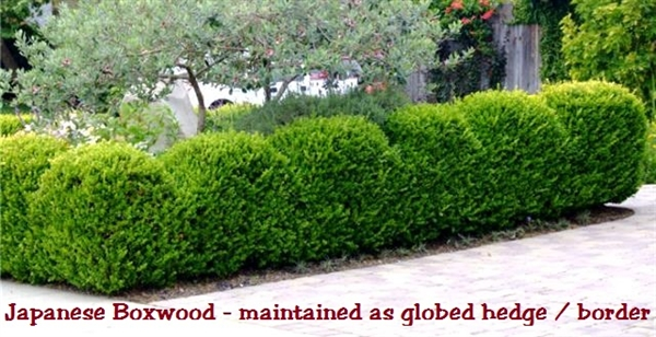 Japanese Boxwood Buxus