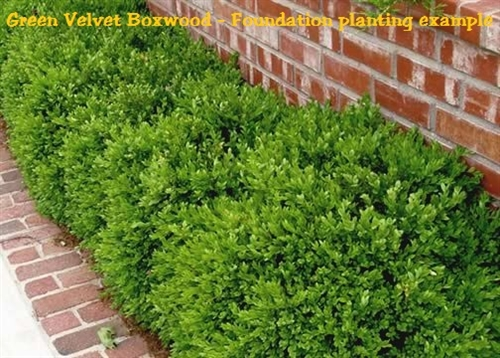 Green Velvet Boxwood Buxus