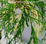 Variegated Thread Cypress