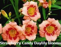 Strawberry Candy Daylily / Hemerocallis
