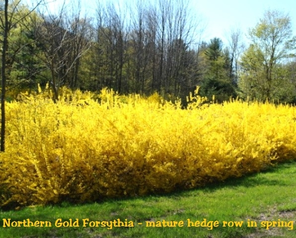 northern gold forsythia, Beautiful flower