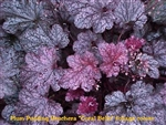 Heuchera Plum Pudding Coral Bells