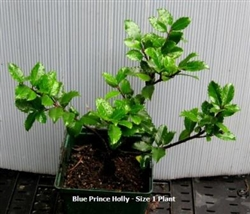 Blue Prince Holly