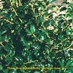 China Boy Hybrid Holly