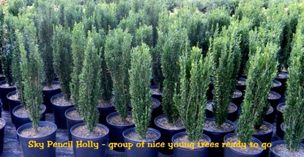 Sky Pencil Holly Ilex