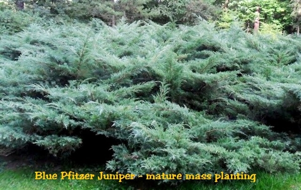Blue Pfitzer Juniper