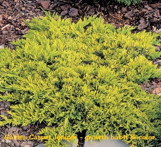Golden Carpet Juniper Juniperus