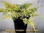 Gold Lace Juniper