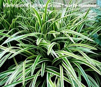 Variegated liriope grass for Variegated grass plant