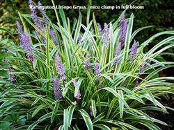 Variegated Liriope Grass