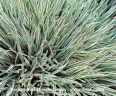 Variegated mondo grass for Variegated grass plant