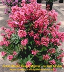 Coral Magic Crape Myrtle / Lagerstroemia