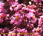 Plum Magic Crape Myrtle