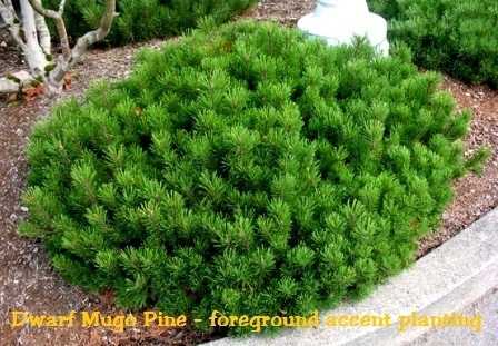 mugo pine, Natural flower