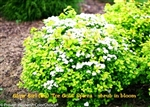Glow Girl 'Tor Gold' Spirea