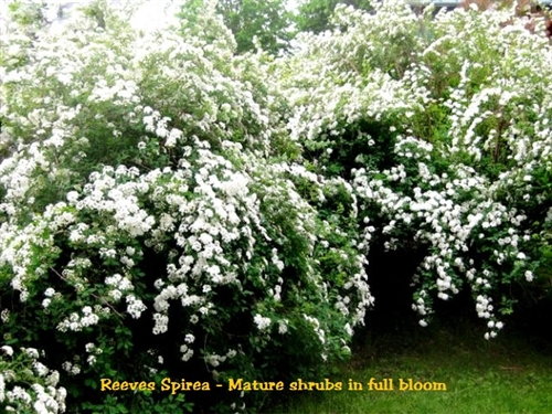 Reeves Bridalwreath Spirea