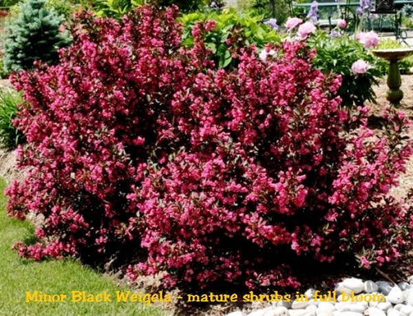 weigela wine and roses planting instructions