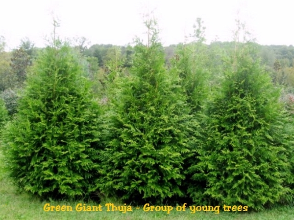 Green giant arborvitae thuja for Green giant arborvitae