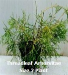 Threadleaf Arborvitae/Thuja