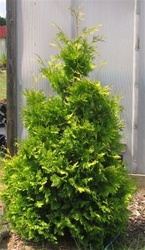 Yellow Ribbon Arborvitae
