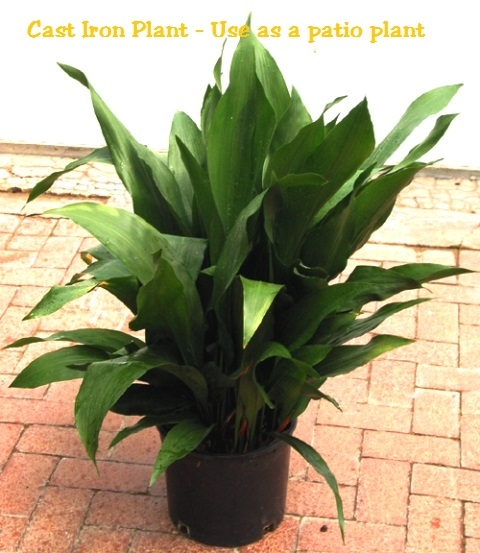 Cast Iron Plants : Aspidistra cast iron plant
