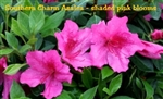 Southern Charm Azalea / Rhododendron