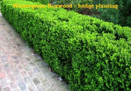 Wintergreen Boxwood Buxus
