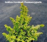 Golden Fernleaf False Cypress / Chamaecyparis
