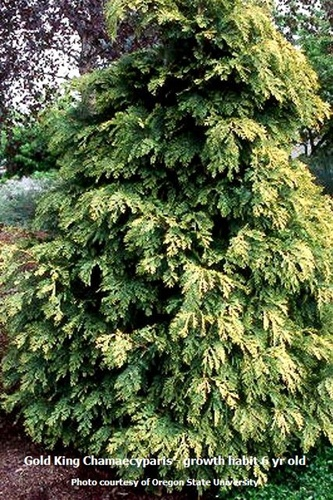 Golden shower cypress