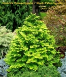 Limerick Chamaecyparis / False Cypress