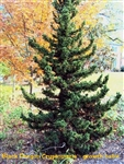 Black Dragon Cryptomeria