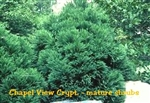 Chapel View Cryptomeria