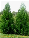 Yoshino Cryptomeria