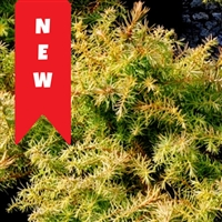 Yellow Twig Cryptomeria / Japanese Cedar