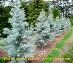 Arizona Blue Ice Cypress