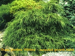 Green Thread Filifera Cypress / Chamaecyparis