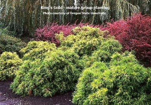 King S Gold Cypress