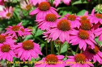 Echinacea Pow Wow Wild Berry / Purple Coneflower