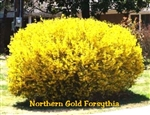 Northern Gold Forsythia