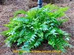 Cyrtomium falcatum / Holly Fern