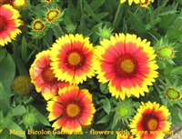 Gaillardia Mesa Bicolor / Blanketflower