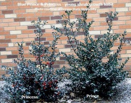 Root Ball Holly, Blue Maid, Blue Prince Hedging & Blue ... |Prince And Princess Blue Holly